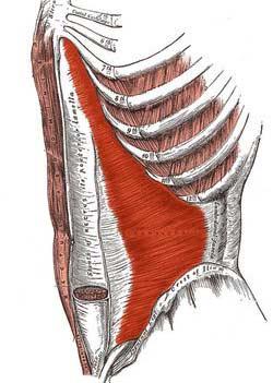 عرضی شکم آبلیکوس داخلی شکمی min - گرفتگی عضلات کمر + نحوه درمان اسپاسم عضلانی