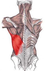 پشتی بزرگ لاتیسموس دورسی min 190x300 - گرفتگی عضلات کمر + نحوه درمان اسپاسم عضلانی